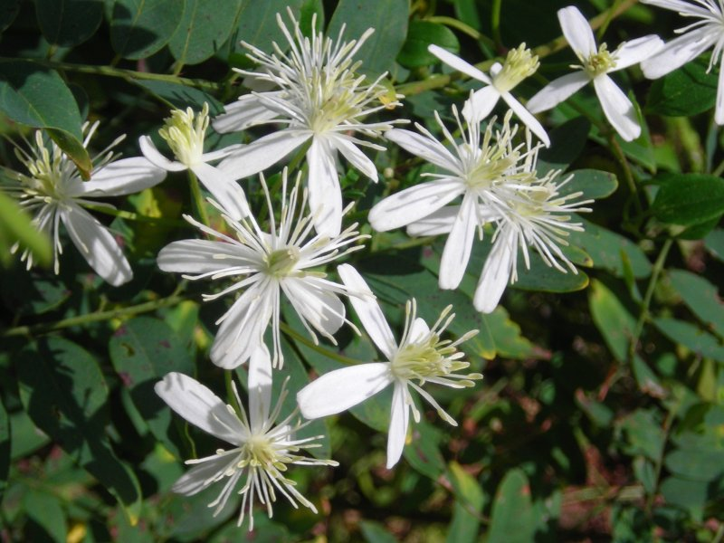 Late summer flowers along the charles the white flowers are virgins bower clematis mightylinksfo