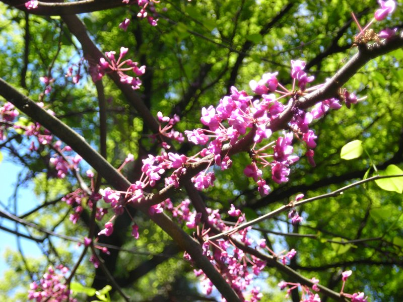 These Purple Flowers Were Growing On A Small Tree Which Had Not Yet Leafed Out